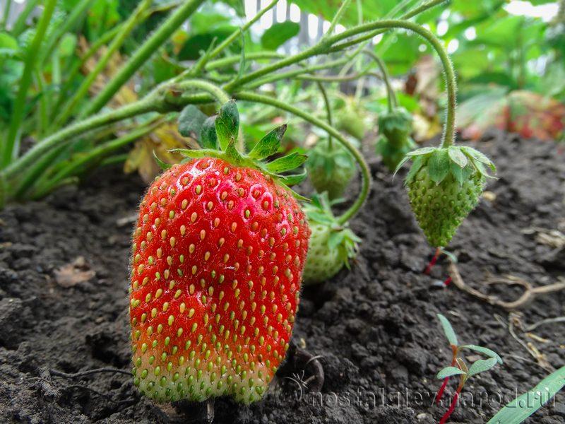 Выращивание и уход за вьющейся клубникой 2