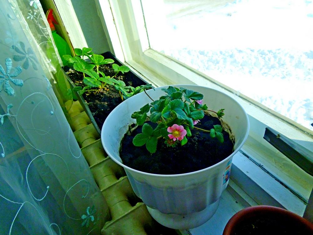 Технология выращивания клубники круглый год 35