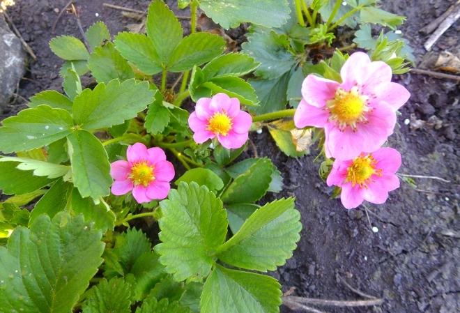 Ампельная клубника с розовыми цветками