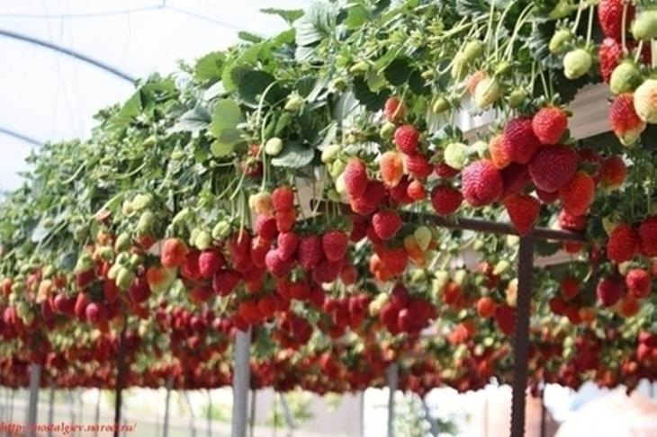 Книги по выращиванию клубники скачать