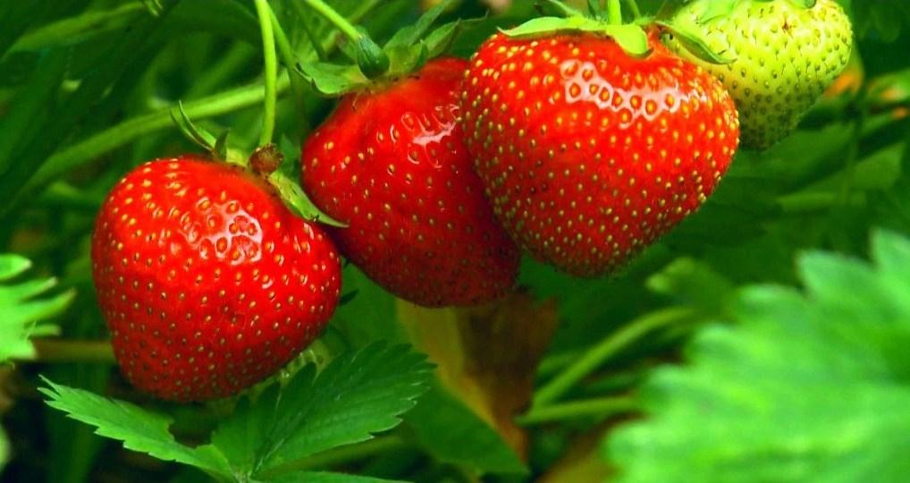 Помидоры. Выращивание томатов. Сорта и рассада, теплица и огород 3