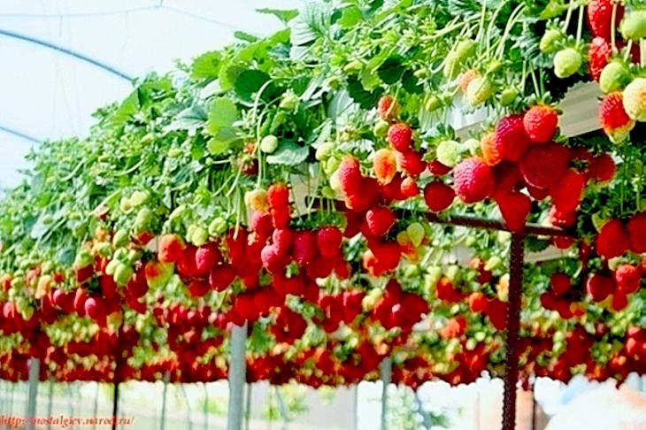 Способы выращивания клубники круглый год 61